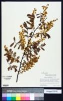 Image of Acacia spectabilis