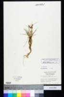 Cyperus retrorsus image