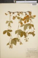 Rubus adjacens image
