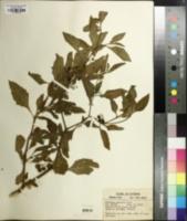 Solanum gracile image