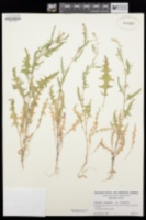 Caulanthus lasiophyllus var. lasiophyllus image