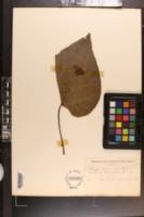 Catalpa bignonioides image