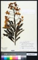 Image of Cassia multijuga