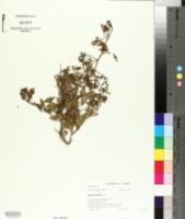 Image of Searsia ciliata