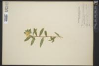 Lithospermum canescens image
