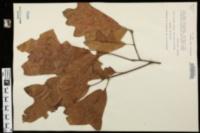 Quercus falcata var. triloba image