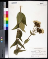 Silphium integrifolium image