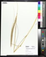 Image of Calamagrostis breviligulata