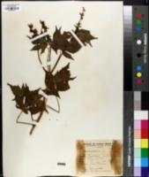 Image of Croton lobatus