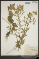 Aster anomalus image