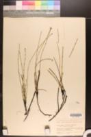 Equisetum nelsonii image