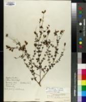 Baptisia tinctoria image