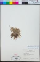 Image of Oxalis cinerea