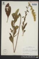 Image of Solidago jejunifolia