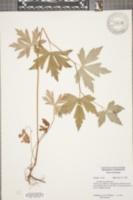 Aconitum uncinatum image