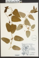 Image of Smilax glabra