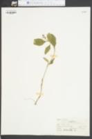 Image of Scutellaria pilosa