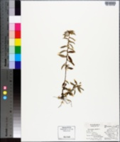 Sauvagesia erecta image