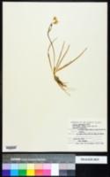 Allium schubertii image