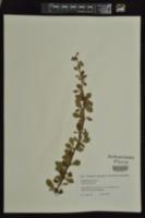 Berberis amurensis image