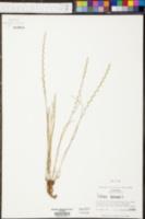 Lolium perenne subsp. perenne image