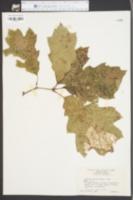 Quercus maxima image