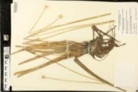 Eriocaulon decangulare var. latifolium image