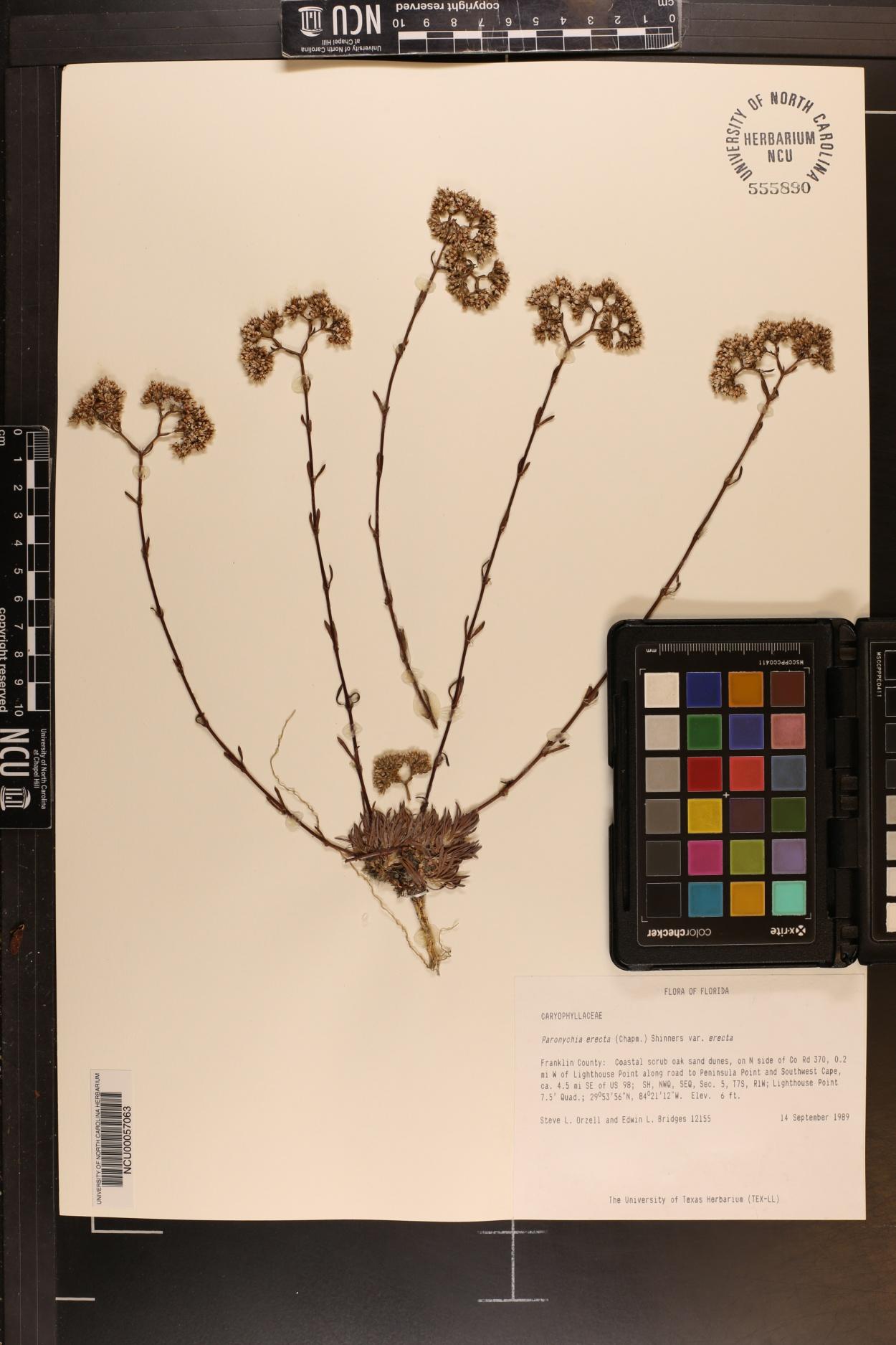 Paronychia erecta var. erecta image