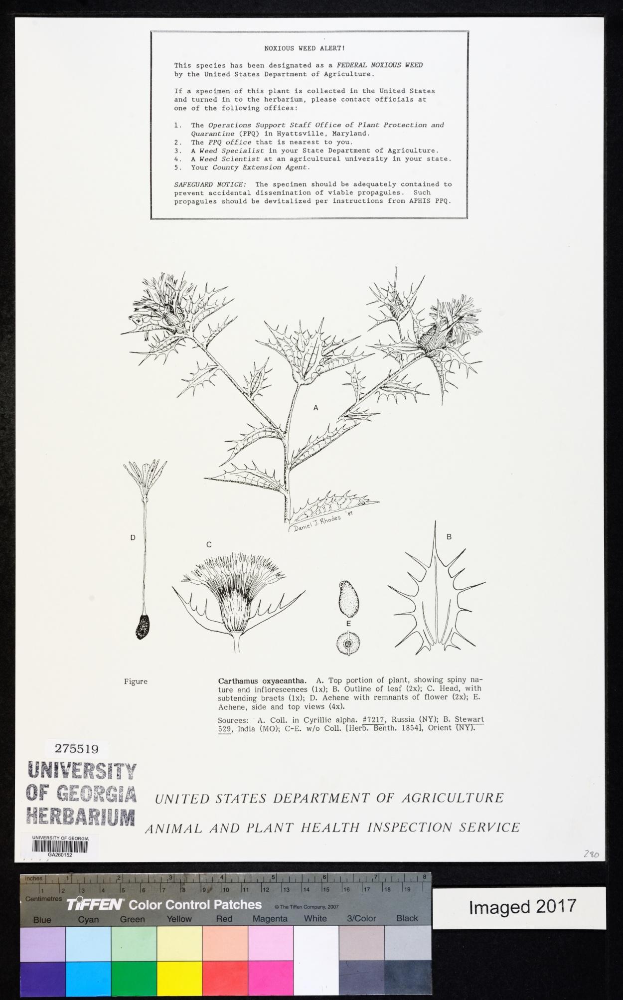 Carthamus oxyacantha image