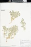 Atriplex elegans var. fasciculata image