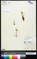 Juncus capitatus image