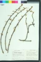 Oemleria cerasiformis image