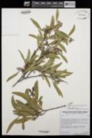 Acacia redolens image