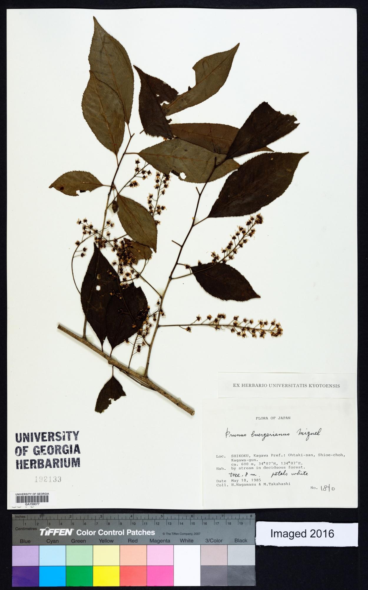 Prunus buergeriana image