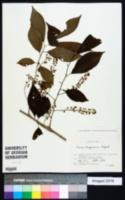Image of Prunus buergeriana