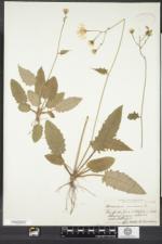 Hieracium murorum image