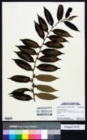 Image of Casearia arborea