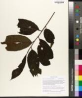 Image of Bridelia micrantha