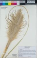 Cortaderia selloana image