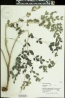 Baptisia australis image