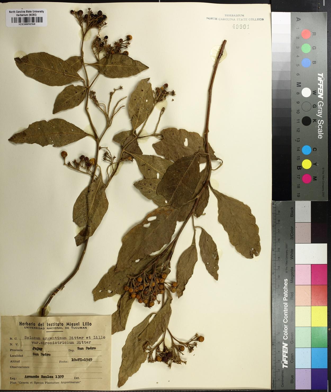 Solanum argentinum image