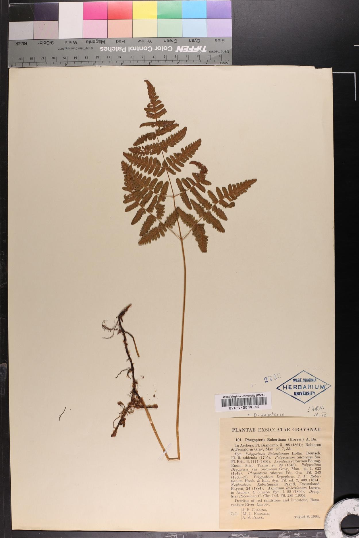 Phegopteris robertiana image