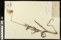 Cirsium lecontei image