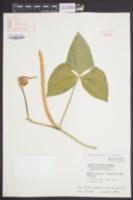 Vigna unguiculata image