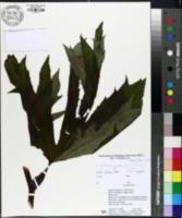 Image of Ligularia japonica