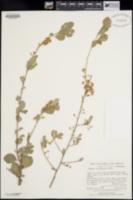 Bumelia occidentalis image
