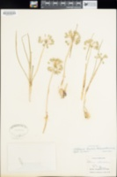 Allium textile image