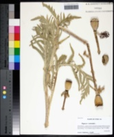 Papaver orientale image