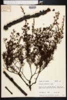 Image of Hypericum lissophloeus