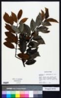 Image of Lacmellea ramosissima